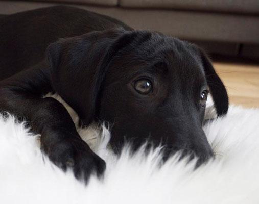 Bürohund Holly