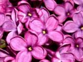 Profilbild von fliederbluete