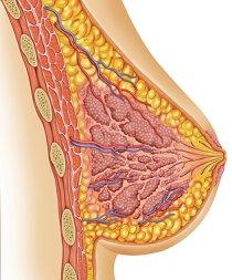 Brust illustration