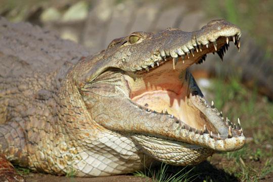 Zäpfchen aus Krokodilkot